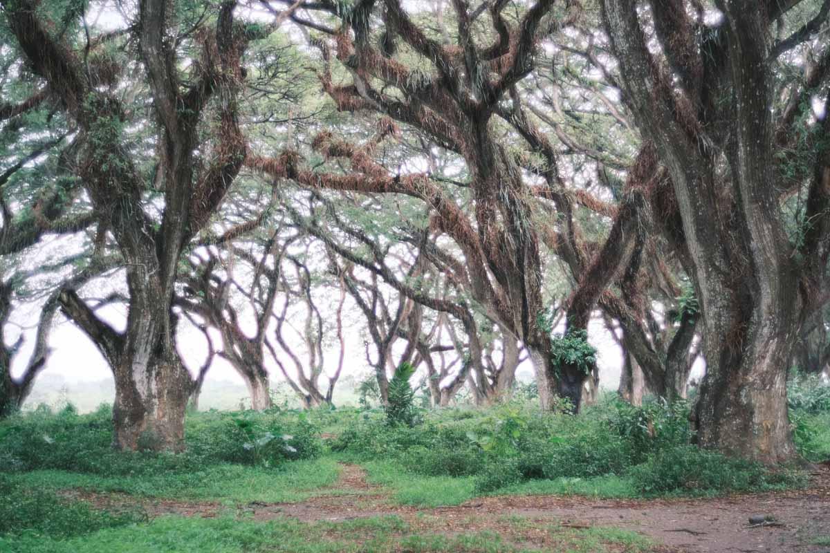 Pepohonan yang mempesona di Hutan De Djawatan