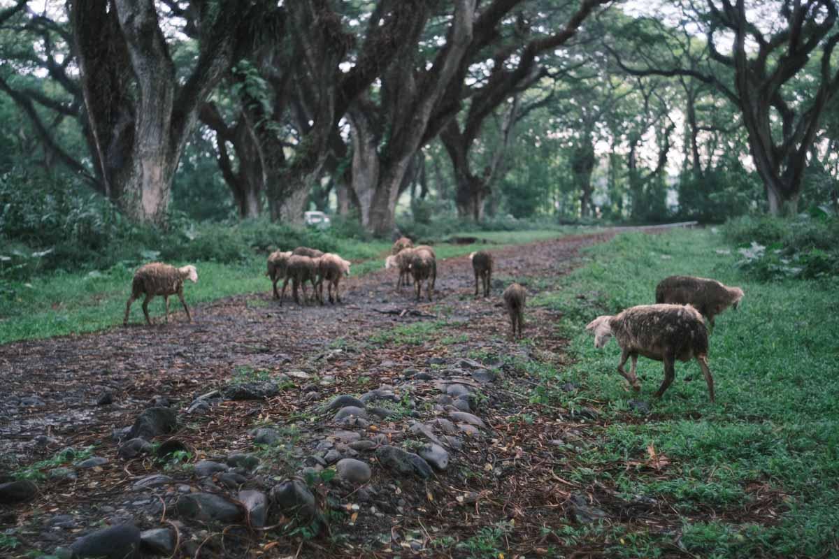 Gerombolan Kambing Melintas dengan Santai di Tengah Hutan